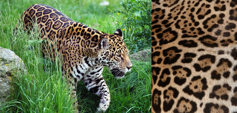 The jaguar in it's green habitat and an example of the jaguar print