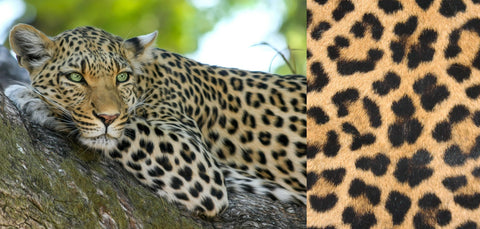 A leopard in a tree and a close-up of leopard print
