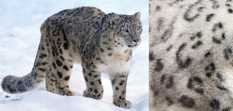 The elusive snow leopard and a close up of it's fur pattern