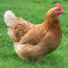 Anstey's Brown Egg Layers - Sold as Pullets - Critter Country Supply Ltd.