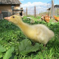Anstey's Embden Goslings - Sold Unsexed - Critter Country Supply Ltd.