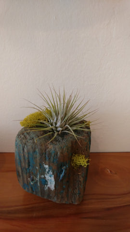 Airplant in wood