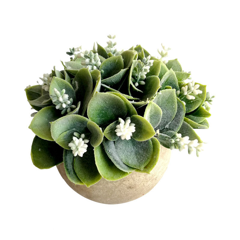 White Flowering Succulent in Round Pot