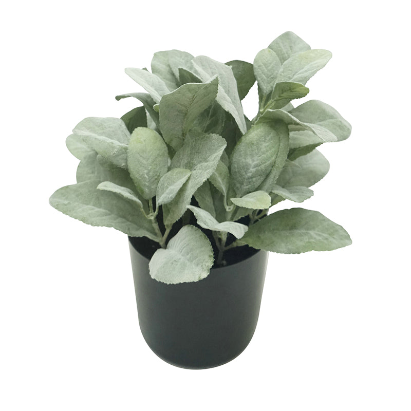 Plant Lamb Leaf Potted