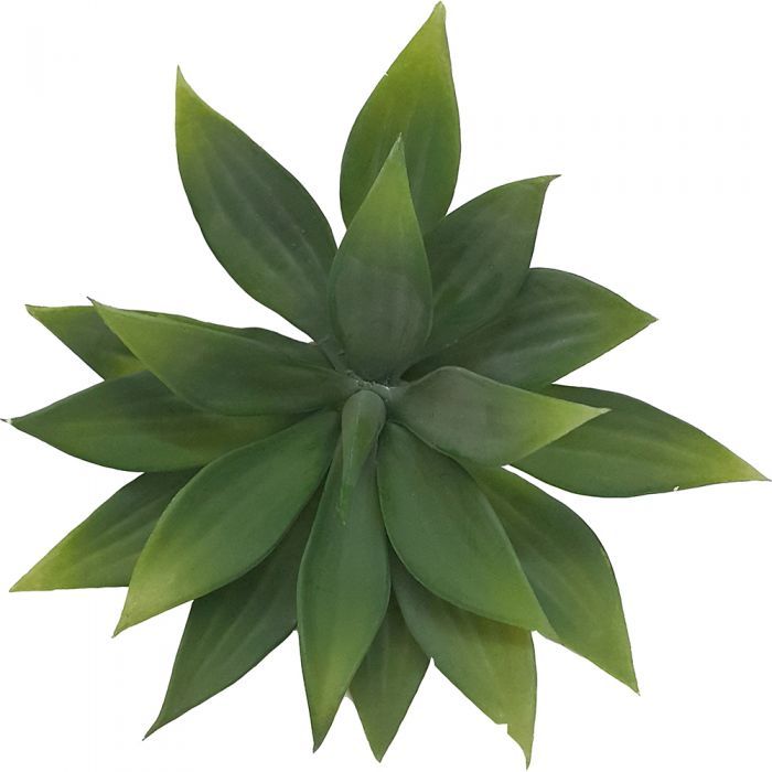 Plant Agave Naturale
