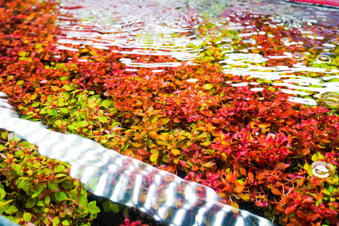 How to Quarantine New Aquarium Plants