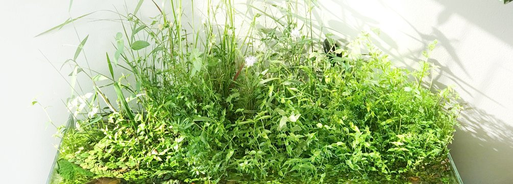 Transitioning Aquatic Plants to Emersed Form - Wabi kusa