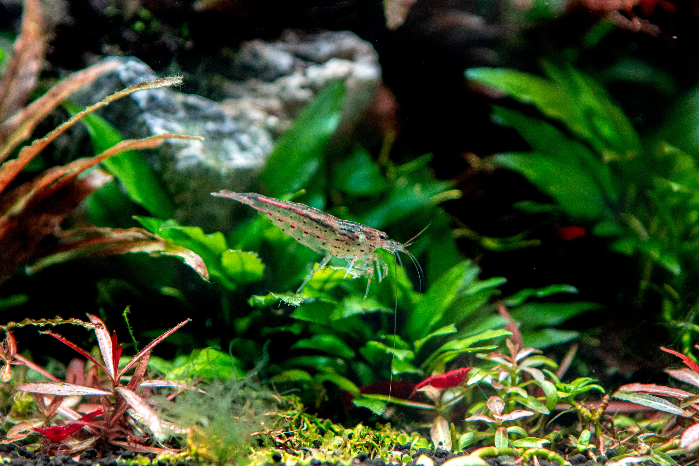 Benefits of Live Plants for Breeding Fish/Shrimp
