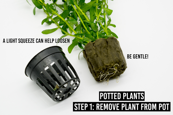 step 1: remove plant from pot