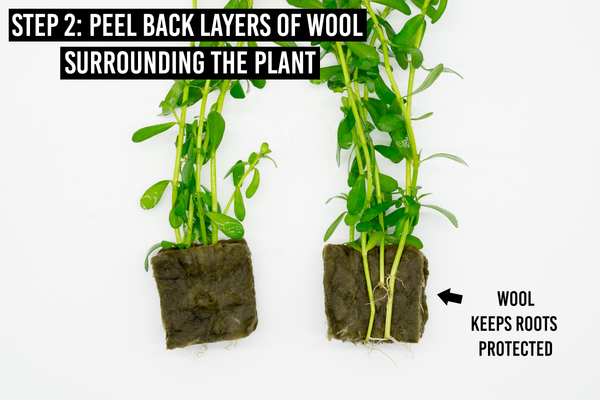 step 2: peel back layers of wool surrounding plant