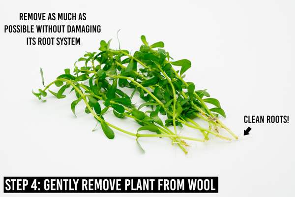 Bacopa Monnieri: step 4 is gently remove plant from wool