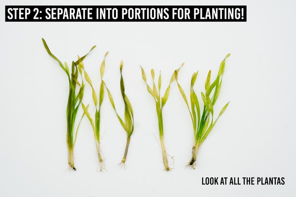 step 2: separate into portions for planting
