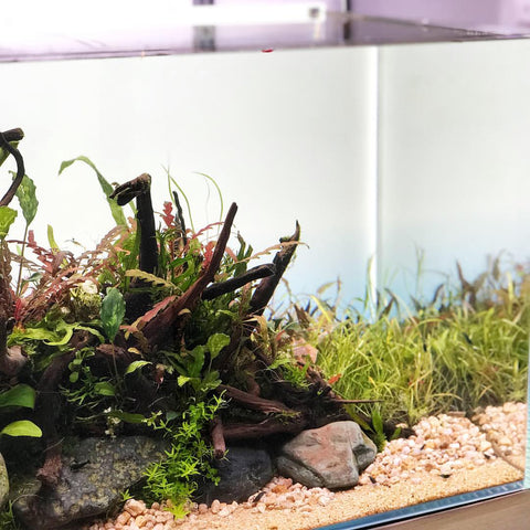 Creating A Traditional Nature Aquarium Layout Buce Plant