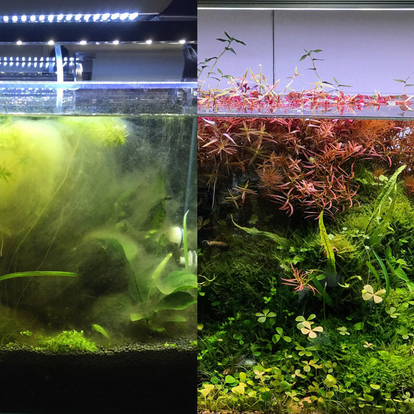 Comparing tank with heavy green algae bloom and algae-controlled tank