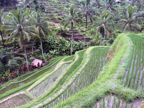 Bali Rice paddings across hill side