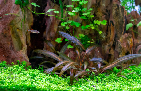 monte carlo carpet plants on floor of planted freshwater aquarium