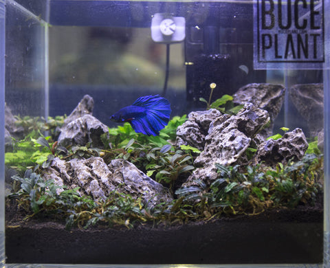 blue betta fish with live freshwater aquarium plants