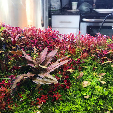 Everything You Need To Know About Carpeting Aquarium Plants Buce Plant