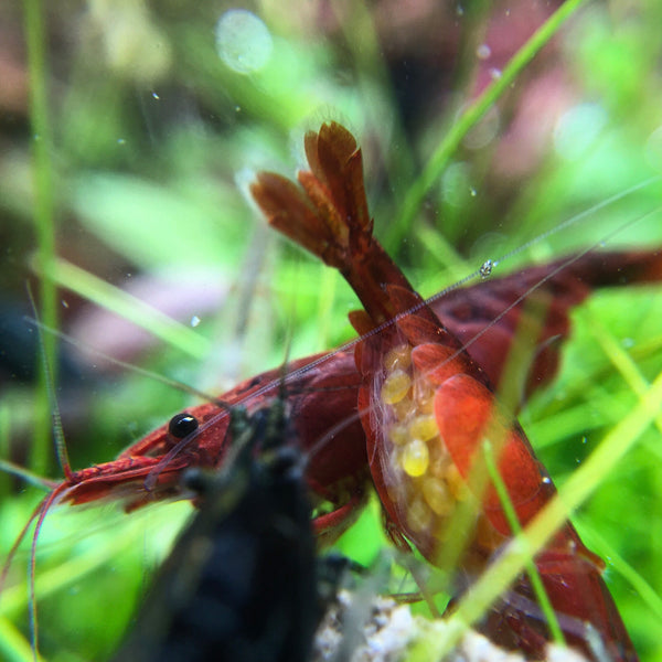 Freshwater shrimp backside with eggs /></p> <p class=
