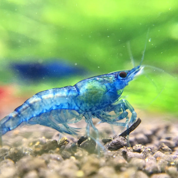 Freshwater Neocaridina blue dream shrimp /></p> <p class=