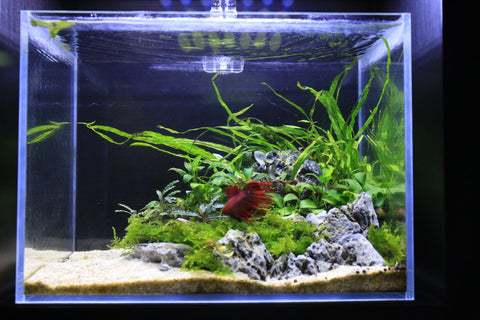 red betta fish aquarium with live aquatic plants