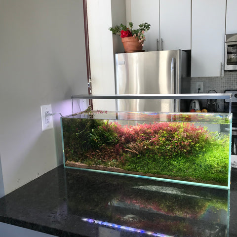 Everything You Need To Know About Carpeting Aquarium Plants