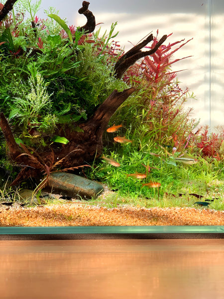 fish in nature styled aquascape