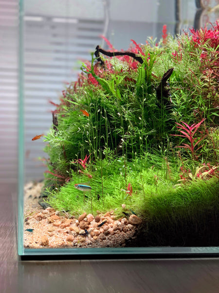 A Beginner S Guide To Keeping Shrimp Buce Plant
