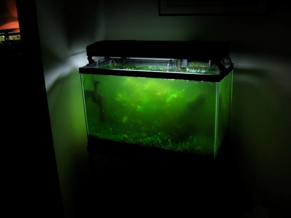 algae bloom  Everything You Ever Wanted to Know About Algae in a Fishtank algae bloom grande