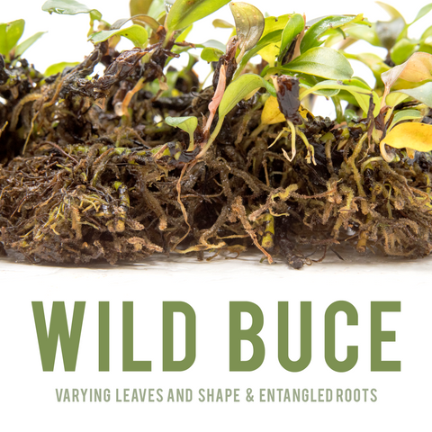 wild bucephalandra shown with tangled roots and varied leaves