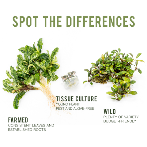 difference between tissue culture, wild, and farmed bucephalandra