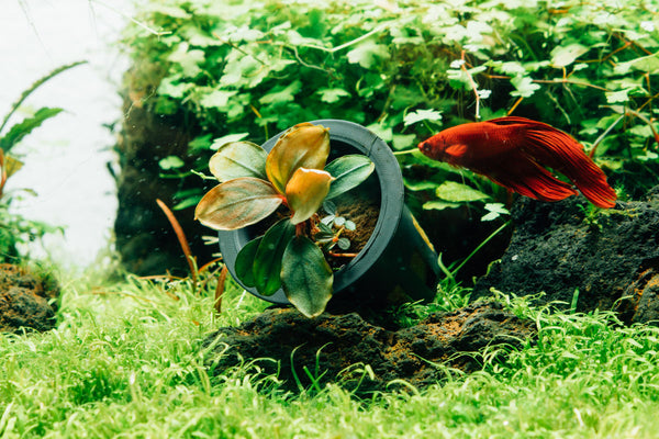 bucephalandra in pot submerged next to a red betta fish