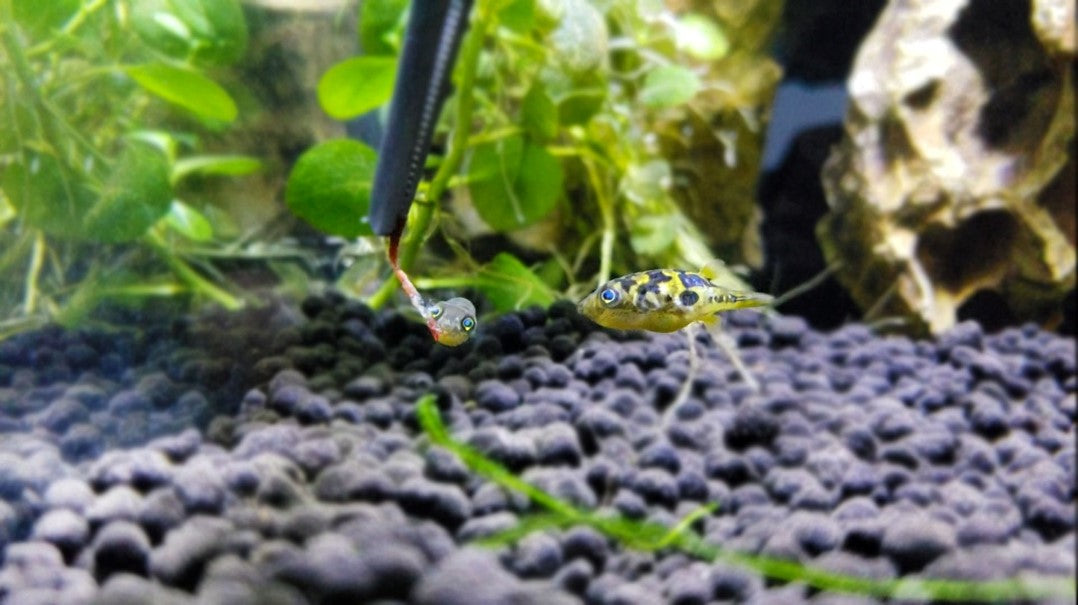Pea puffers eating bloodworms