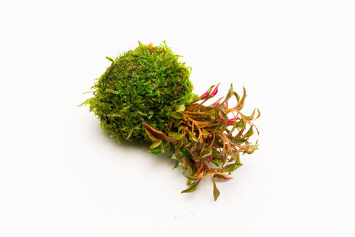 Alternanthera Bettzickiana Red on Clay Moss Ball