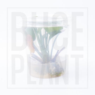 Amazon Sword Aquatic Farmer Tissue Culture - BucePlant.com