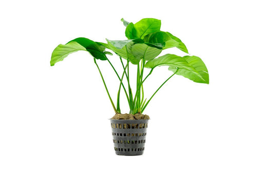 Anubias Barteri Broad Leaf Mother Pot
