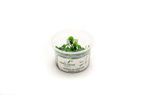 Anubias Gold Coin Tissue Culture AF