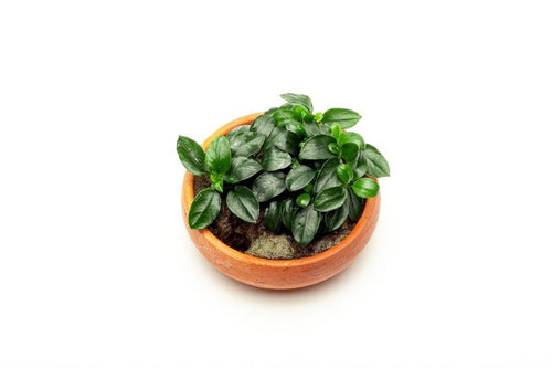 Anubias Nana Petite on Bowl