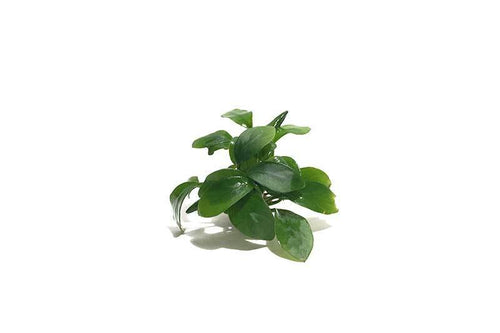 Anubias Spear Leaf
