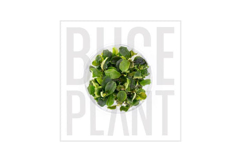 Aquatic Plant Bucephalandra Green Wavy Tissue Culture