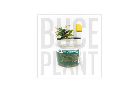 Aquatic Plant Cryptocoryne x Purpurea Dennerle Tissue Culture
