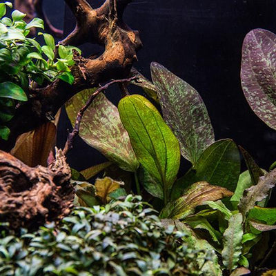 Echinodorus Fancy Twist - BucePlant.com