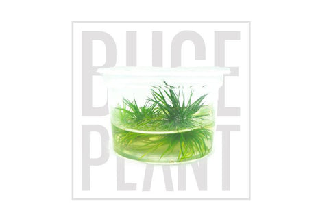 Aquatic Plant Eriocaulon Polaris Tissue Culture