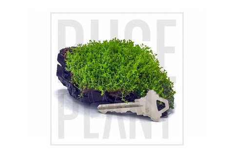 Aquatic Plant Hemianthus Callitrichoides 'Cuba' (Dwarf Baby Tears) on Driftwood