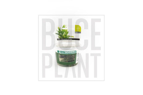 Aquatic Plant Java Fern Dennerle Tissue Culture