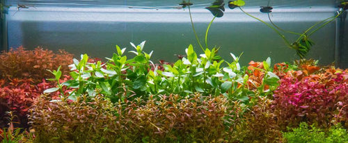 Aquatic Plant Ludwigia Inclinata