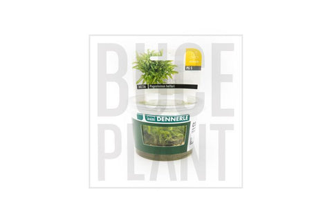 Aquatic Plant Pogostemon Helferi 'Downoi' Dennerle Tissue Culture