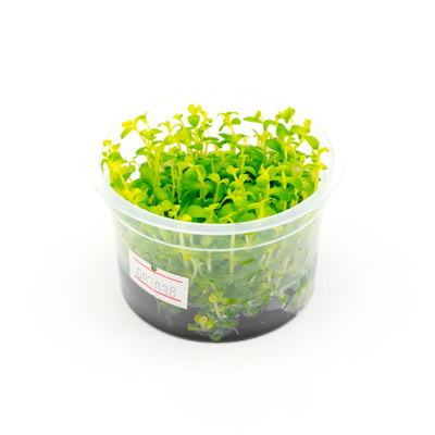 Bacopa Australis Aquatic Farmer Tissue Culture