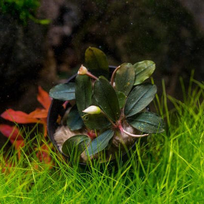 Bucephalandra Brownie Red (Farmed) - BucePlant.com