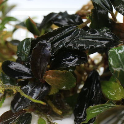 Bucephalandra Black Angel